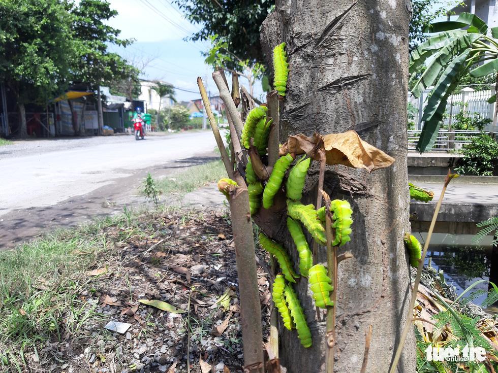 Nhiều cây bàng xanh trơ trụi chỉ sau một đêm vì bị sâu ăn lá - Ảnh 2.