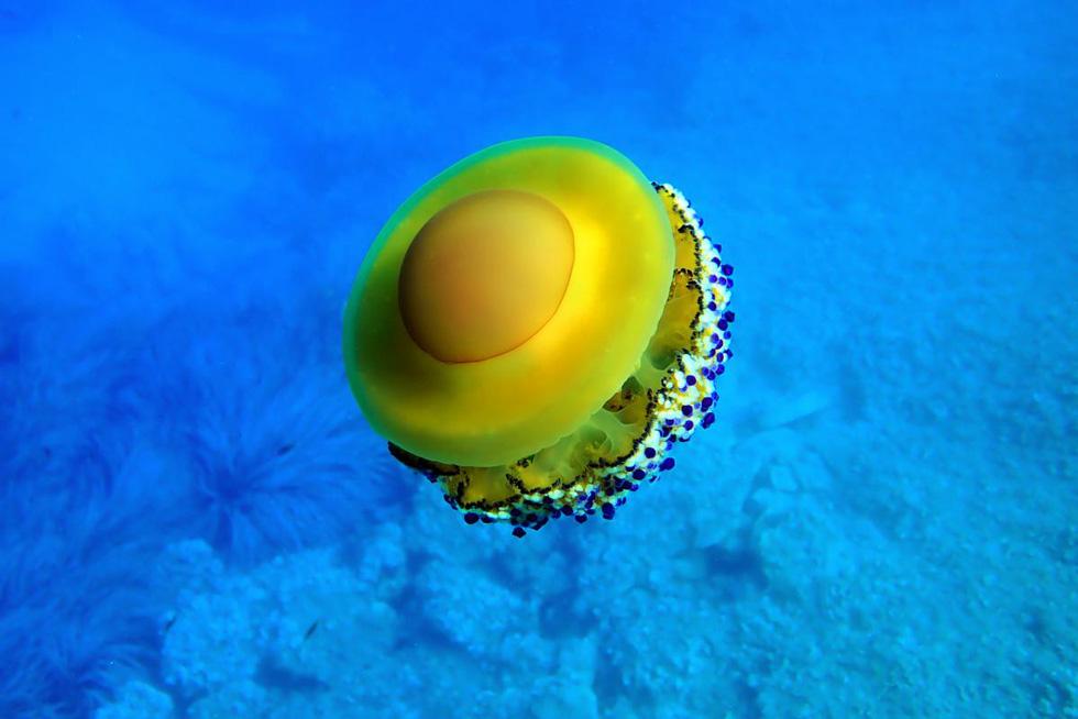 Loài sứa 'ngon mắt' nhất đại dương, nhìn hệt như quả trứng - Ảnh 3.