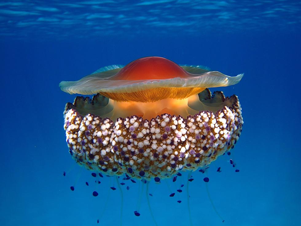 Loài sứa 'ngon mắt' nhất đại dương, nhìn hệt như quả trứng - Ảnh 4.