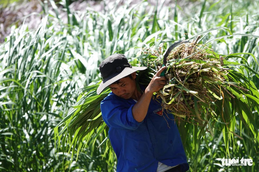Bầy bò tót lai Ninh Thuận hồi phục nhanh, mập lên từng ngày - Ảnh 8.