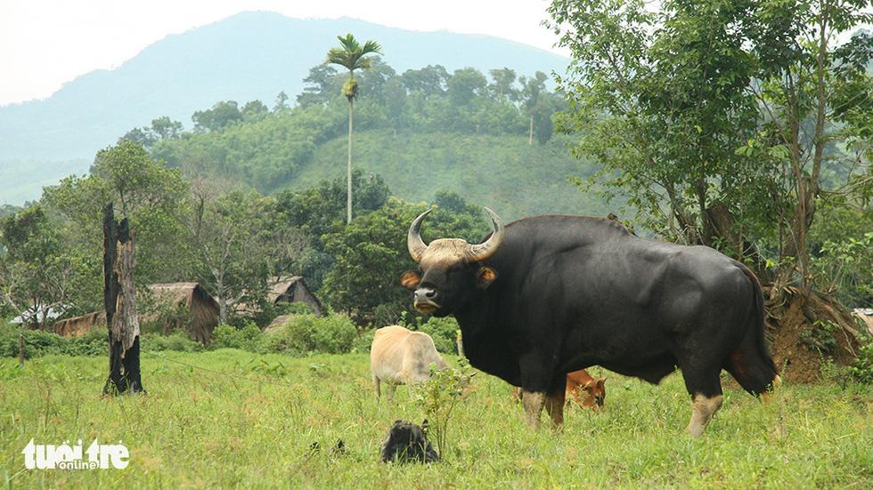 Một thập niên bò tót về làng - Ảnh 2.