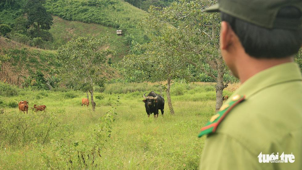 Một thập niên bò tót về làng - Ảnh 3.