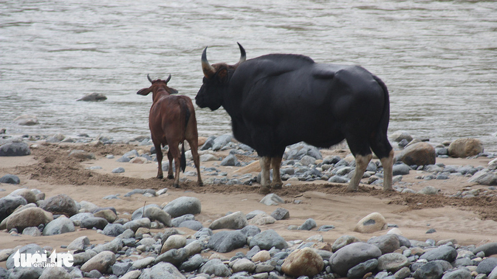 Một thập niên bò tót về làng - Ảnh 4.