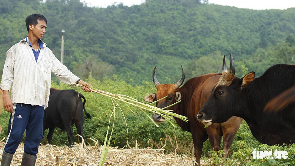 Một thập niên bò tót về làng - Ảnh 6.