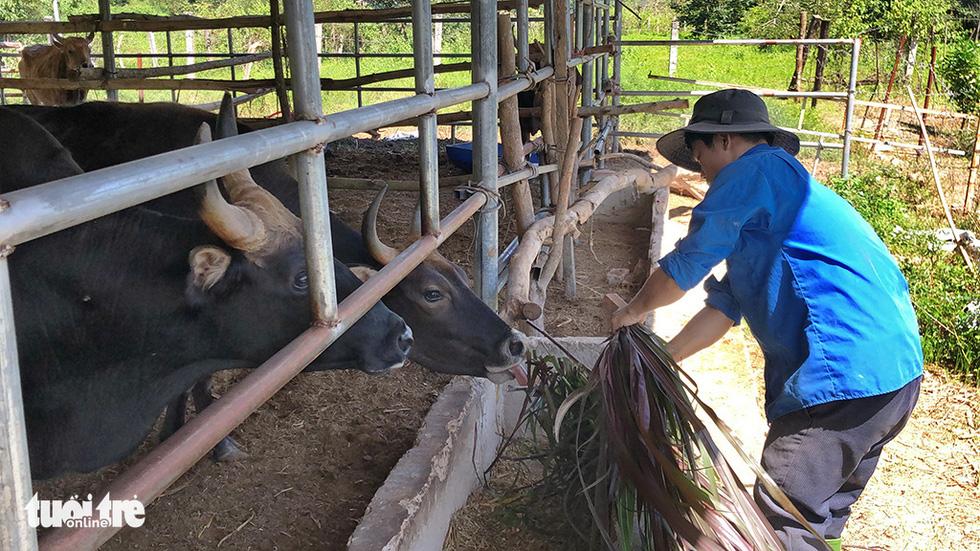 Một thập niên bò tót về làng - Ảnh 1.