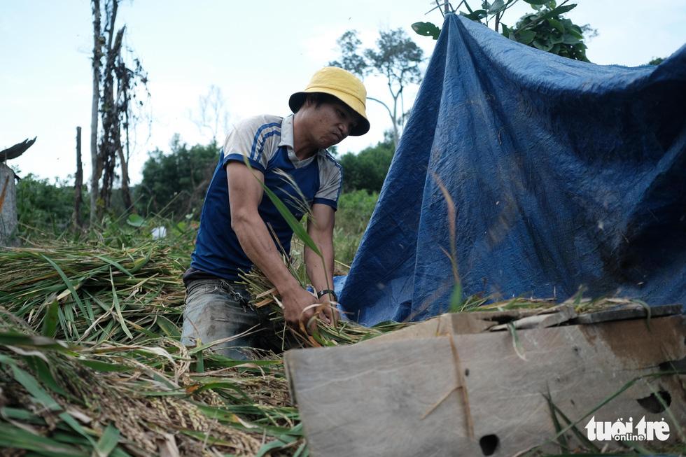 Người dân buồn bã vì tan hoang vụ lúa rẫy vùng sạt lở Phước Sơn - Ảnh 6.