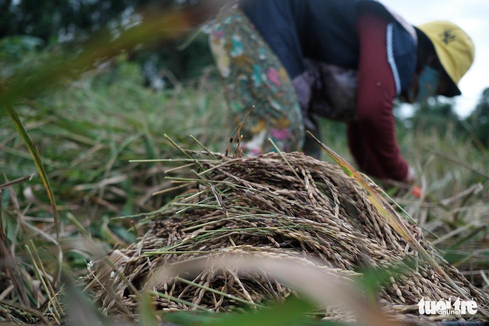 Người dân buồn bã vì tan hoang vụ lúa rẫy vùng sạt lở Phước Sơn - Ảnh 5.
