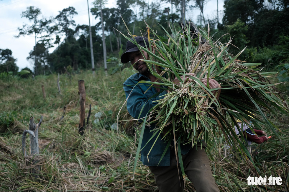 Người dân buồn bã vì tan hoang vụ lúa rẫy vùng sạt lở Phước Sơn - Ảnh 3.