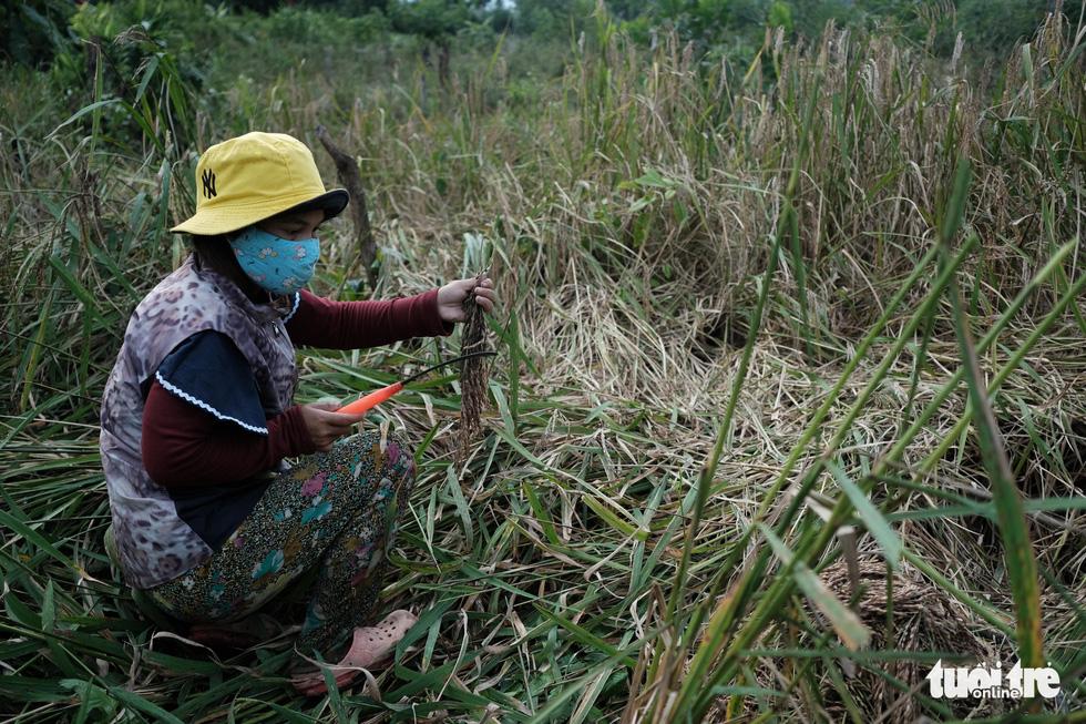 Người dân buồn bã vì tan hoang vụ lúa rẫy vùng sạt lở Phước Sơn - Ảnh 4.