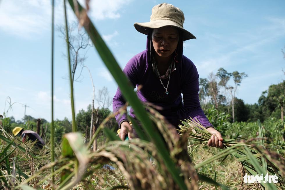 Người dân buồn bã vì tan hoang vụ lúa rẫy vùng sạt lở Phước Sơn - Ảnh 2.