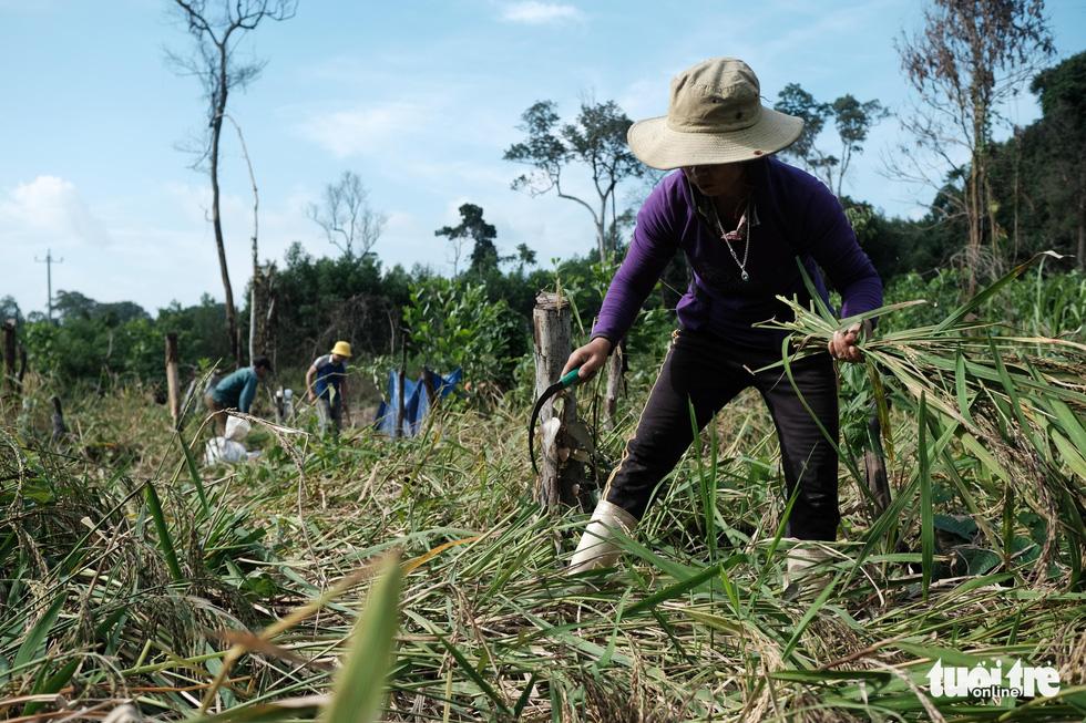 Người dân buồn bã vì tan hoang vụ lúa rẫy vùng sạt lở Phước Sơn - Ảnh 1.