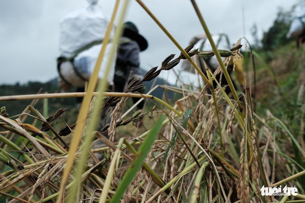 Người dân buồn bã vì tan hoang vụ lúa rẫy vùng sạt lở Phước Sơn - Ảnh 9.