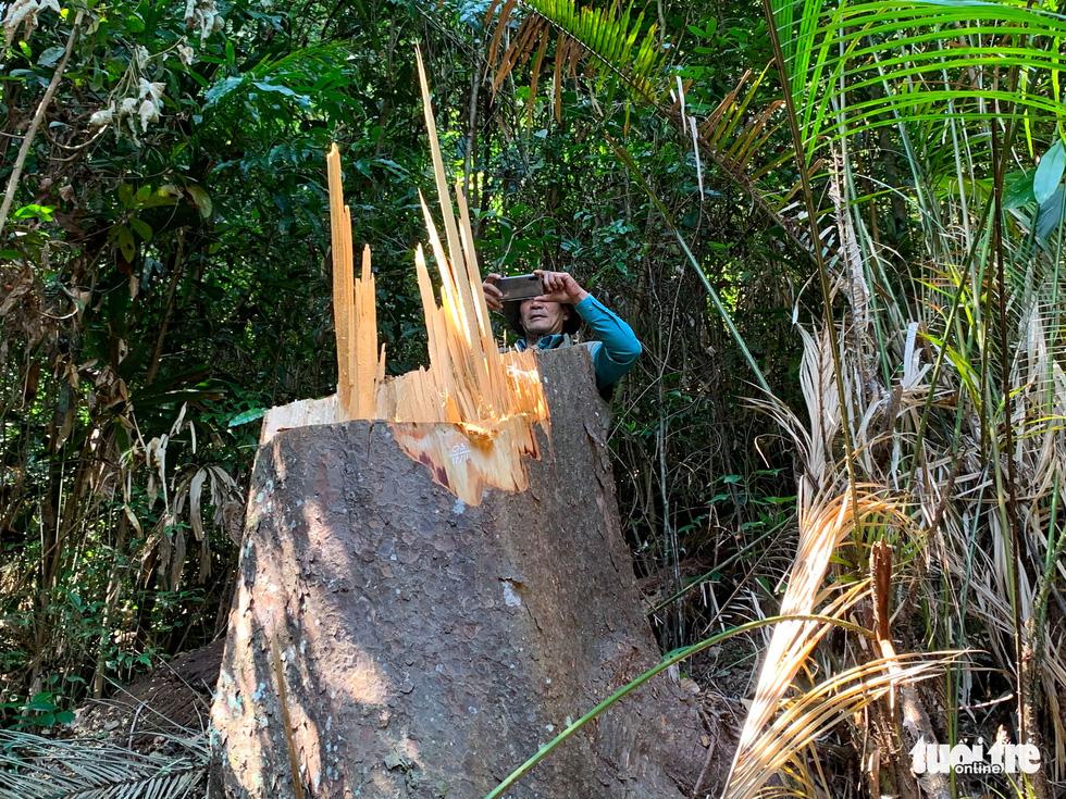 Rừng bạch tùng cổ thụ bị đốn hạ, phát hiện gỗ cùng loại ở nhà tổ trưởng bảo vệ rừng - Ảnh 1.