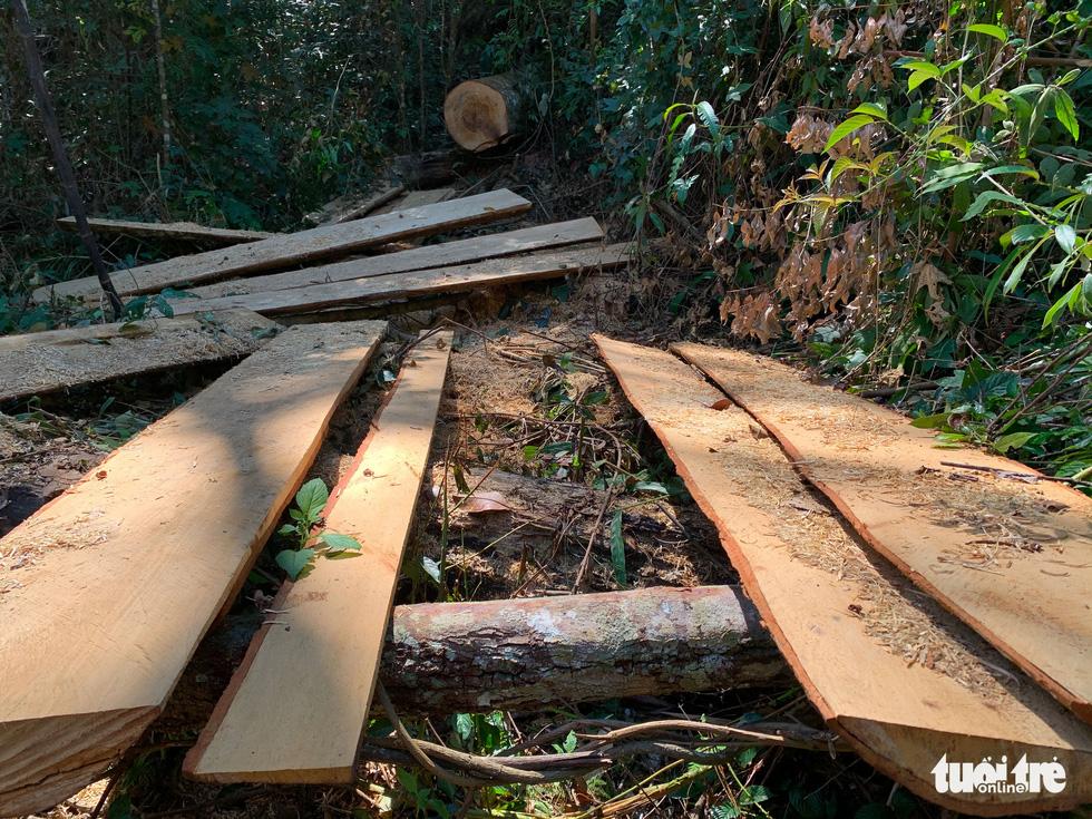 Rừng bạch tùng cổ thụ bị đốn hạ, phát hiện gỗ cùng loại ở nhà tổ trưởng bảo vệ rừng - Ảnh 2.