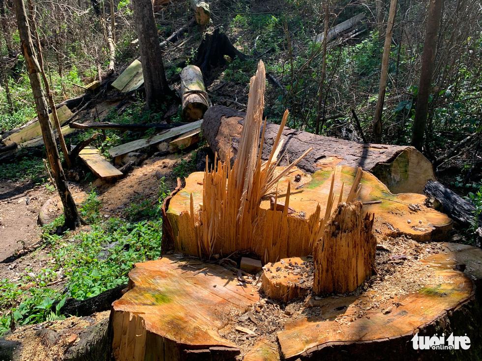 Rừng bạch tùng cổ thụ bị đốn hạ, phát hiện gỗ cùng loại ở nhà tổ trưởng bảo vệ rừng - Ảnh 4.