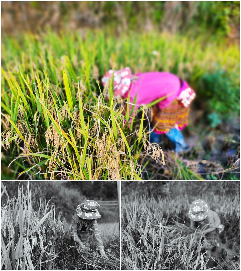Hoàng Su Phì mùa lúa chín qua ống kính OPPO Reno 4 - Ảnh 9.
