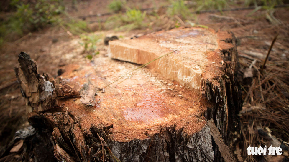 Hàng trăm cây thông thân to bị triệt hạ la liệt - Ảnh 3.