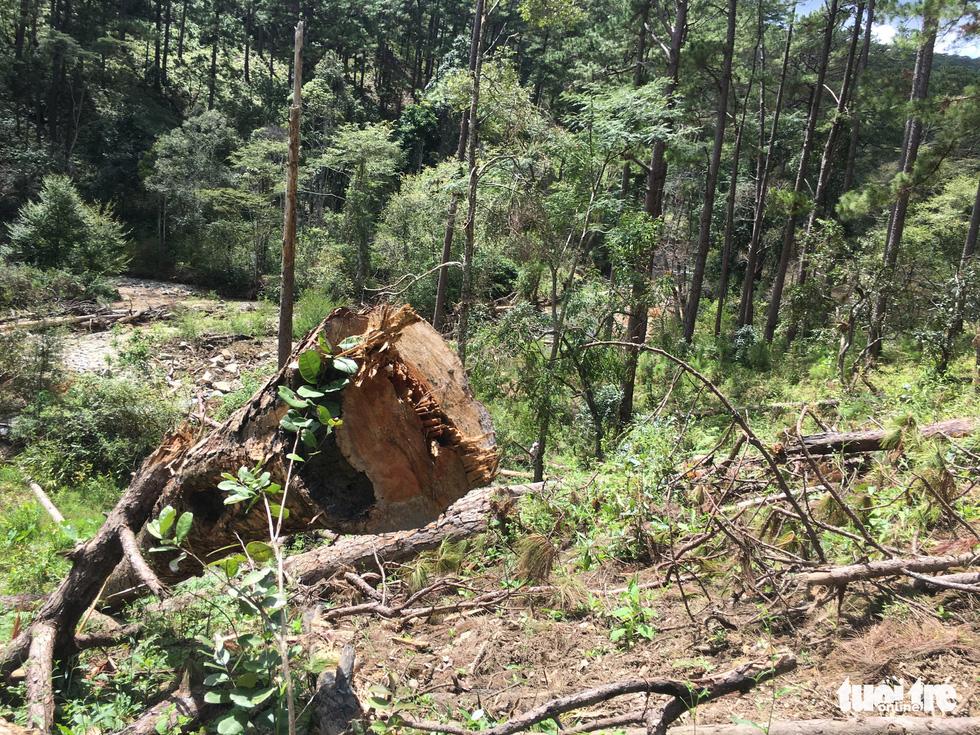 Hàng trăm cây thông thân to bị triệt hạ la liệt - Ảnh 2.