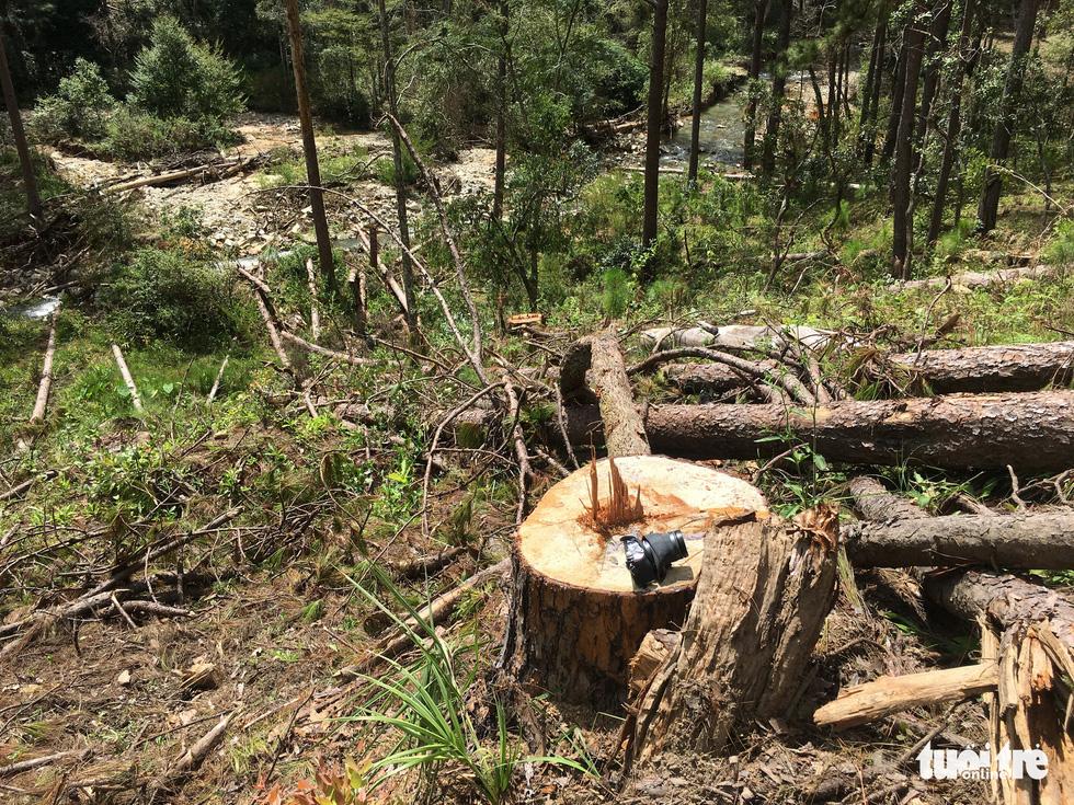 Hàng trăm cây thông thân to bị triệt hạ la liệt - Ảnh 1.