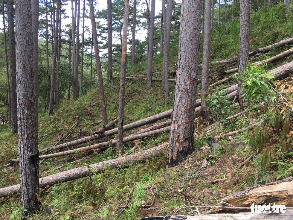Hàng trăm cây thông thân to bị triệt hạ la liệt - Ảnh 4.