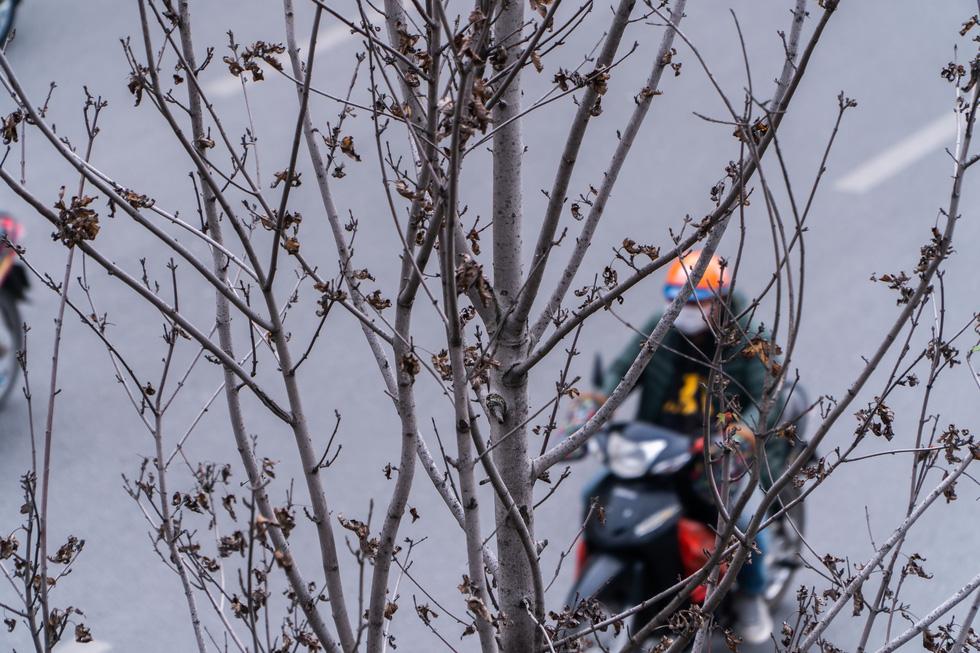 Hàng cây phong lá đỏ chết khô ở tuyến đường được kỳ vọng lãng mạn nhất Hà Nội - Ảnh 6.