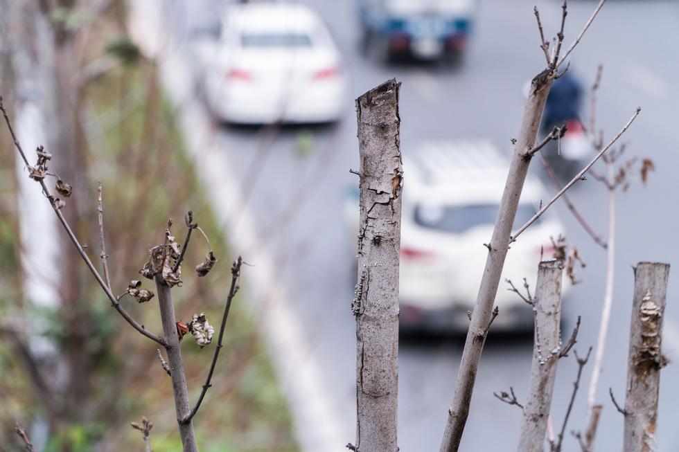 Hàng cây phong lá đỏ chết khô ở tuyến đường được kỳ vọng lãng mạn nhất Hà Nội - Ảnh 7.