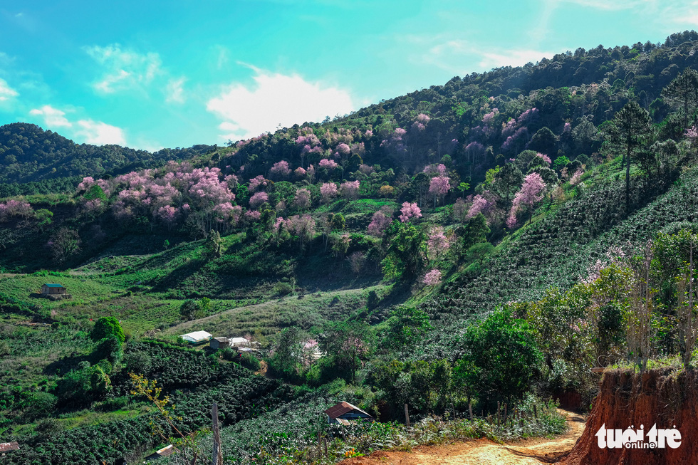 Cherry blossoms bloom brilliantly from the inner city to the suburbs of Da Lat - Photo 11.