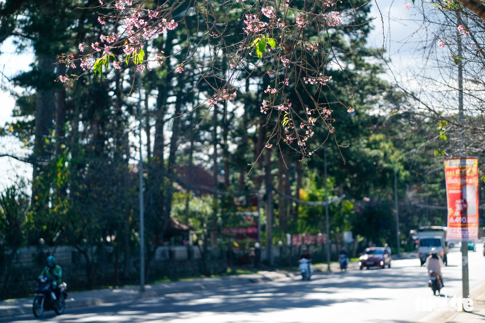 Cherry blossoms bloom brilliantly from the inner city to the suburbs of Da Lat - Photo 7.