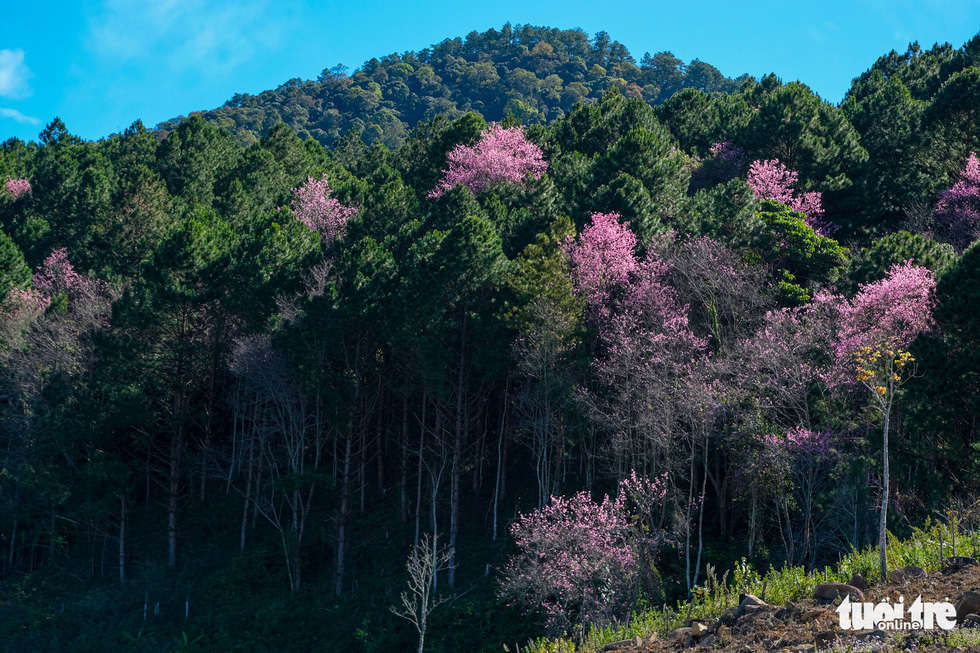 Cherry blossoms bloom brilliantly from the inner city to the suburbs of Da Lat - Photo 3.
