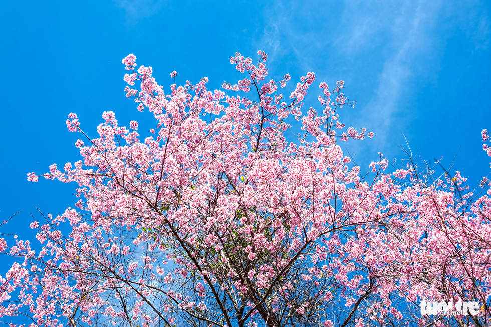 Cherry blossoms bloom brilliantly from the inner city to the suburbs of Da Lat - Photo 2.