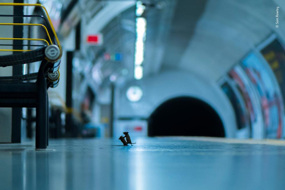 Thắng giải ảnh nhờ chộp khoảnh khắc 2 chú chuột đánh nhau - Ảnh 1.