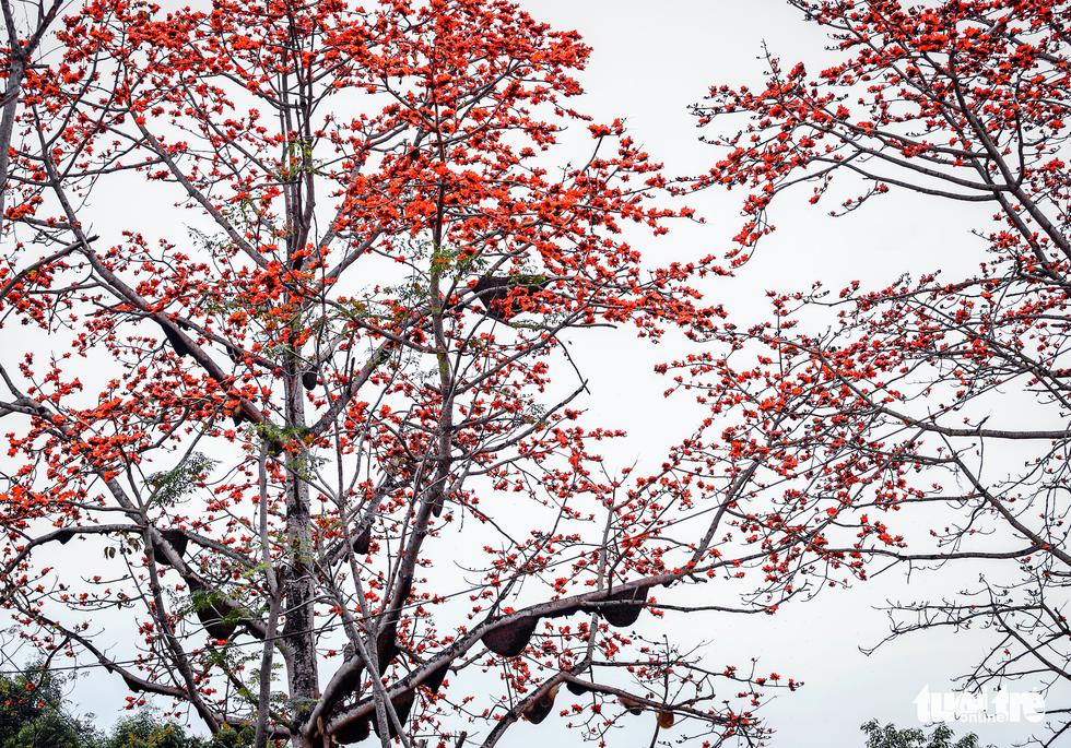 Kỳ lạ cây gạo đỏ rực có gần 30 tổ ong mật - Ảnh 11.