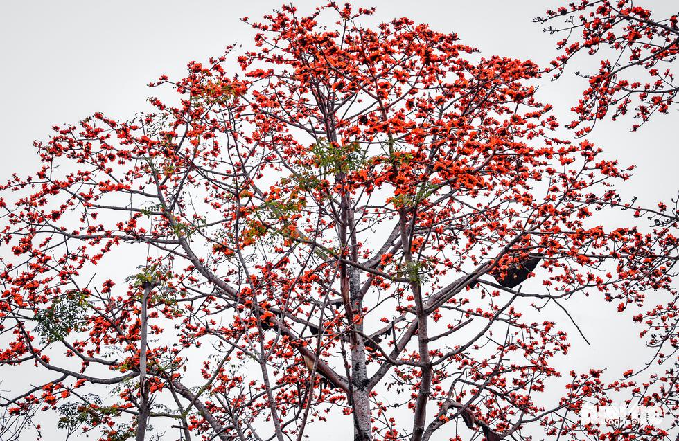 Kỳ lạ cây gạo đỏ rực có gần 30 tổ ong mật - Ảnh 2.