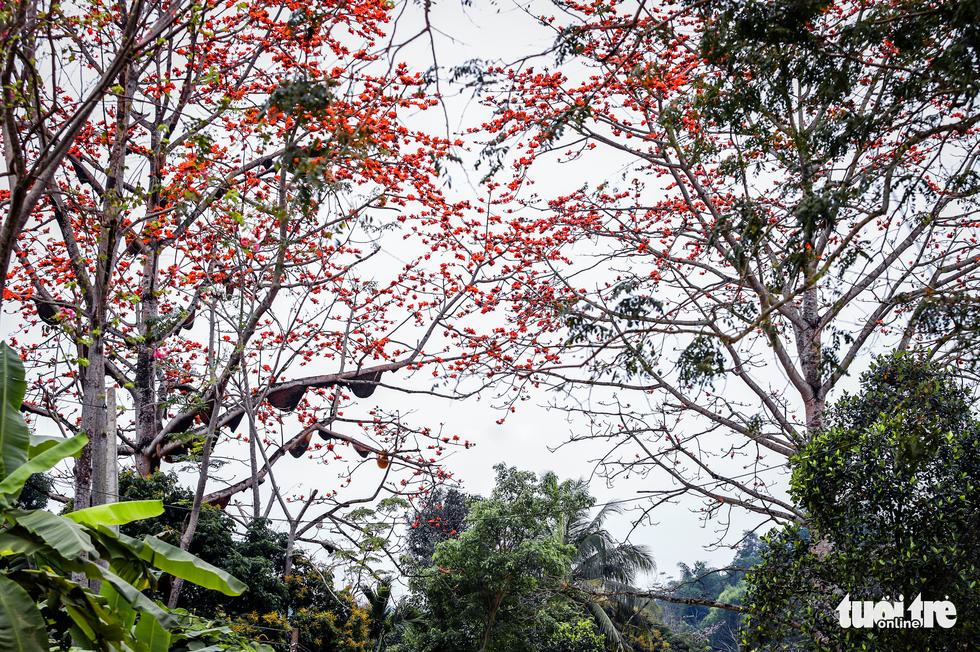 Kỳ lạ cây gạo đỏ rực có gần 30 tổ ong mật - Ảnh 3.