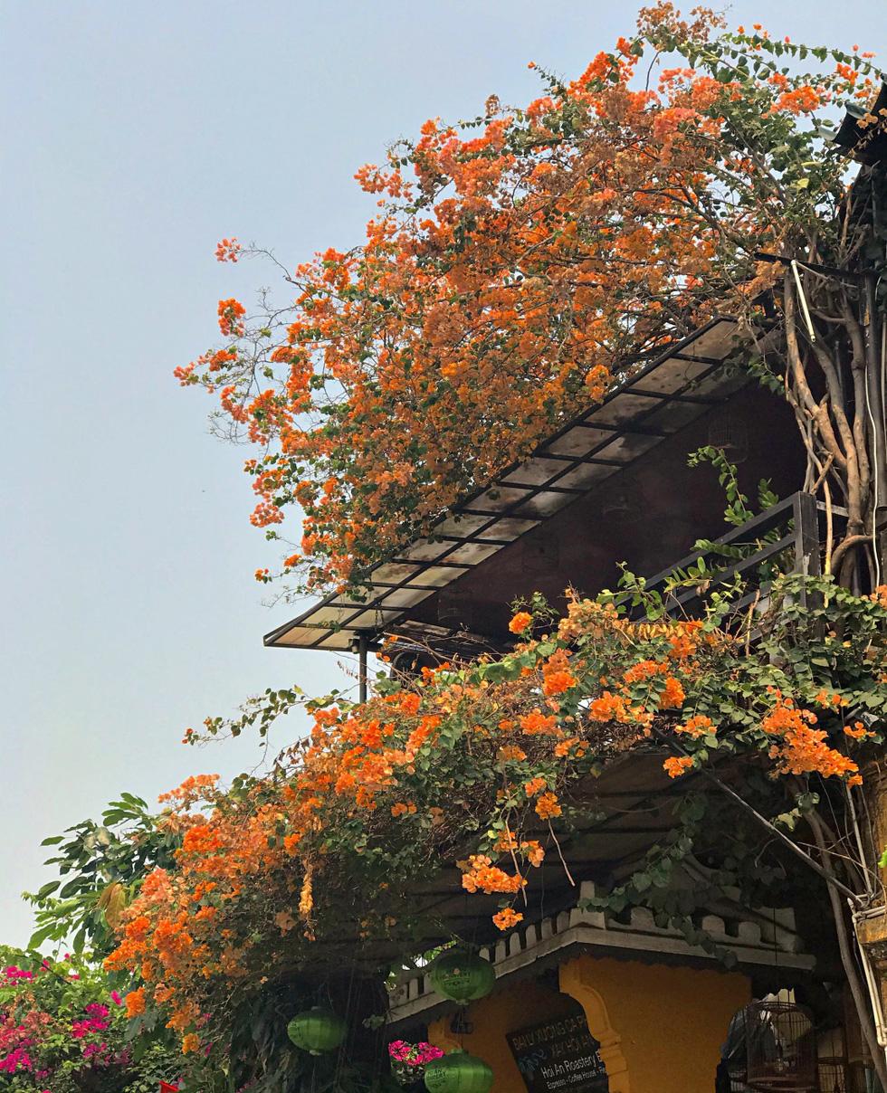 Hoa giấy nở rực rỡ Hội An trong những ngày corona - Ảnh 10.