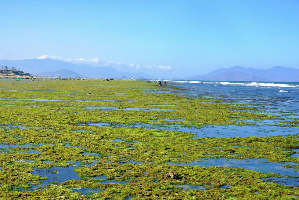 Chiêm ngưỡng bãi rêu xanh tuyệt đẹp ở Ninh Thuận - Ảnh 2.