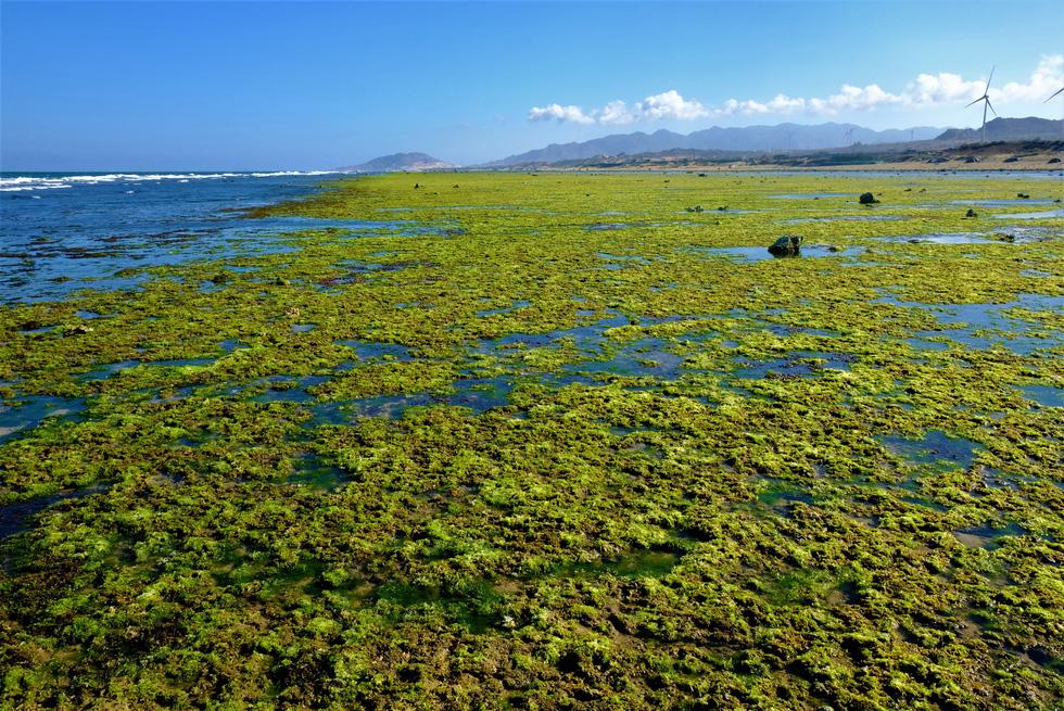Chiêm ngưỡng bãi rêu xanh tuyệt đẹp ở Ninh Thuận - Ảnh 1.