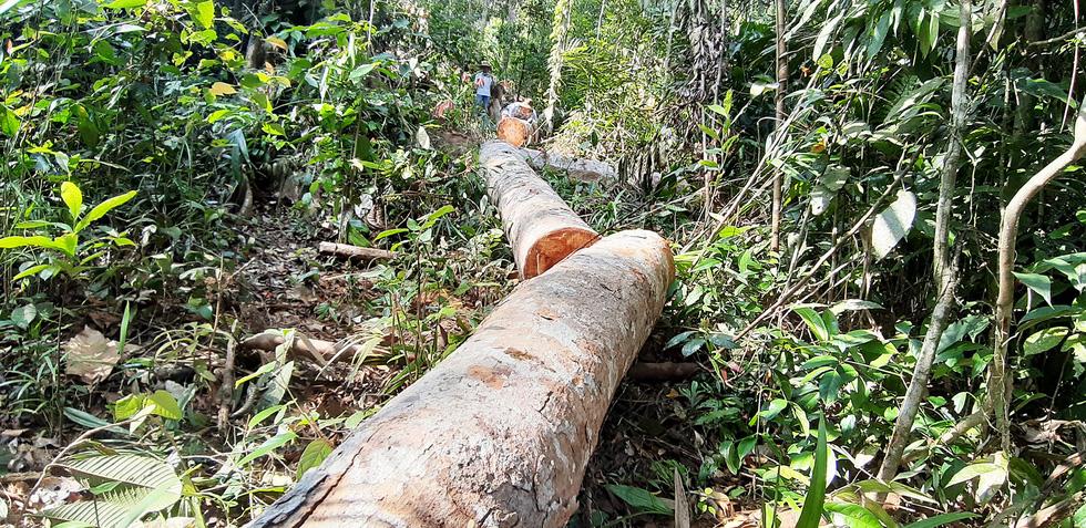 Cây rừng bị cưa hằng ngày, kiểm lâm nói đang đi đếm để... báo cáo lên trên - Ảnh 5.