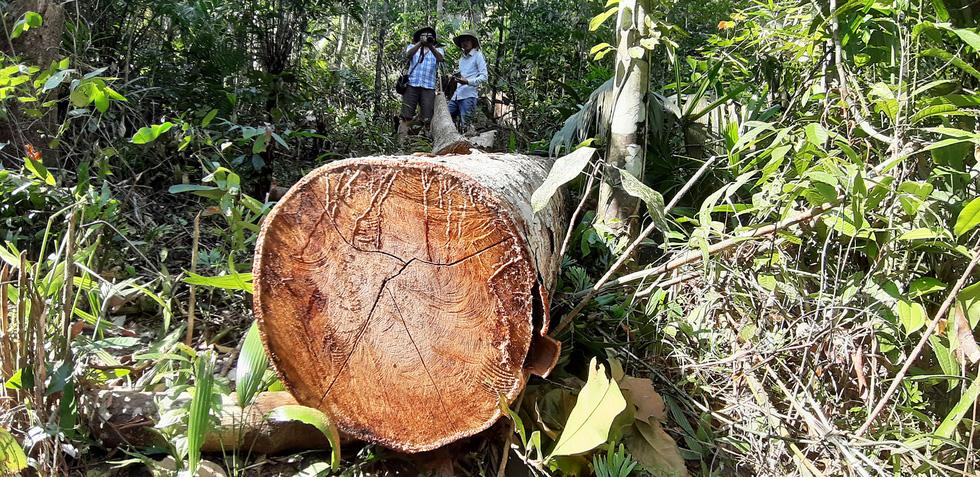 Cây rừng bị cưa hằng ngày, kiểm lâm nói đang đi đếm để... báo cáo lên trên - Ảnh 7.
