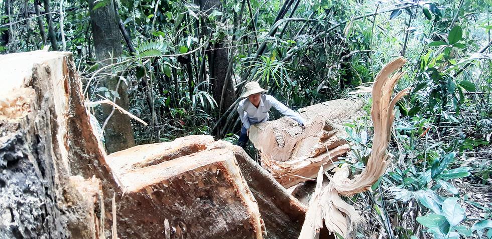 Cây rừng bị cưa hằng ngày, kiểm lâm nói đang đi đếm để... báo cáo lên trên - Ảnh 6.