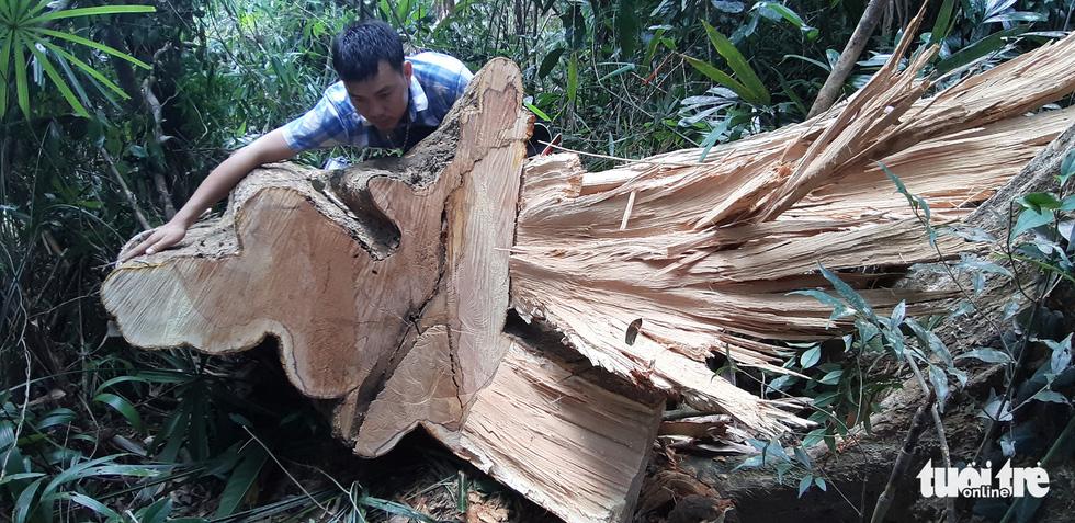 Cây rừng bị cưa hằng ngày, kiểm lâm nói đang đi đếm để... báo cáo lên trên - Ảnh 1.