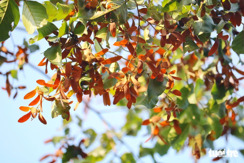 Có một mùa hoa chò lặng lẽ bay bay giữa Sài Gòn - Ảnh 7.