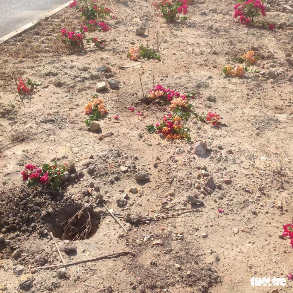 Hàng ngàn cây lá màu, bông giấy trên quốc lộ 19 mới bị nhổ trộm - Ảnh 3.