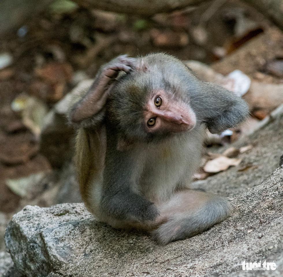 Nhói lòng những con khỉ què quặt, bị thương lòi xương ở Sơn Trà - Ảnh 1.