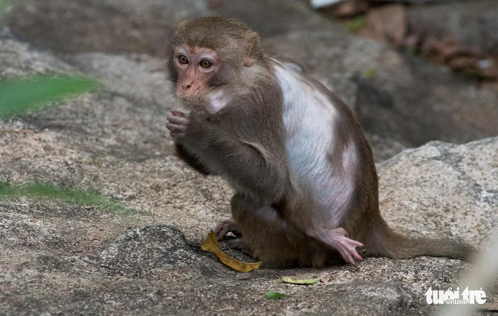 Nhói lòng những con khỉ què quặt, bị thương lòi xương ở Sơn Trà - Ảnh 4.