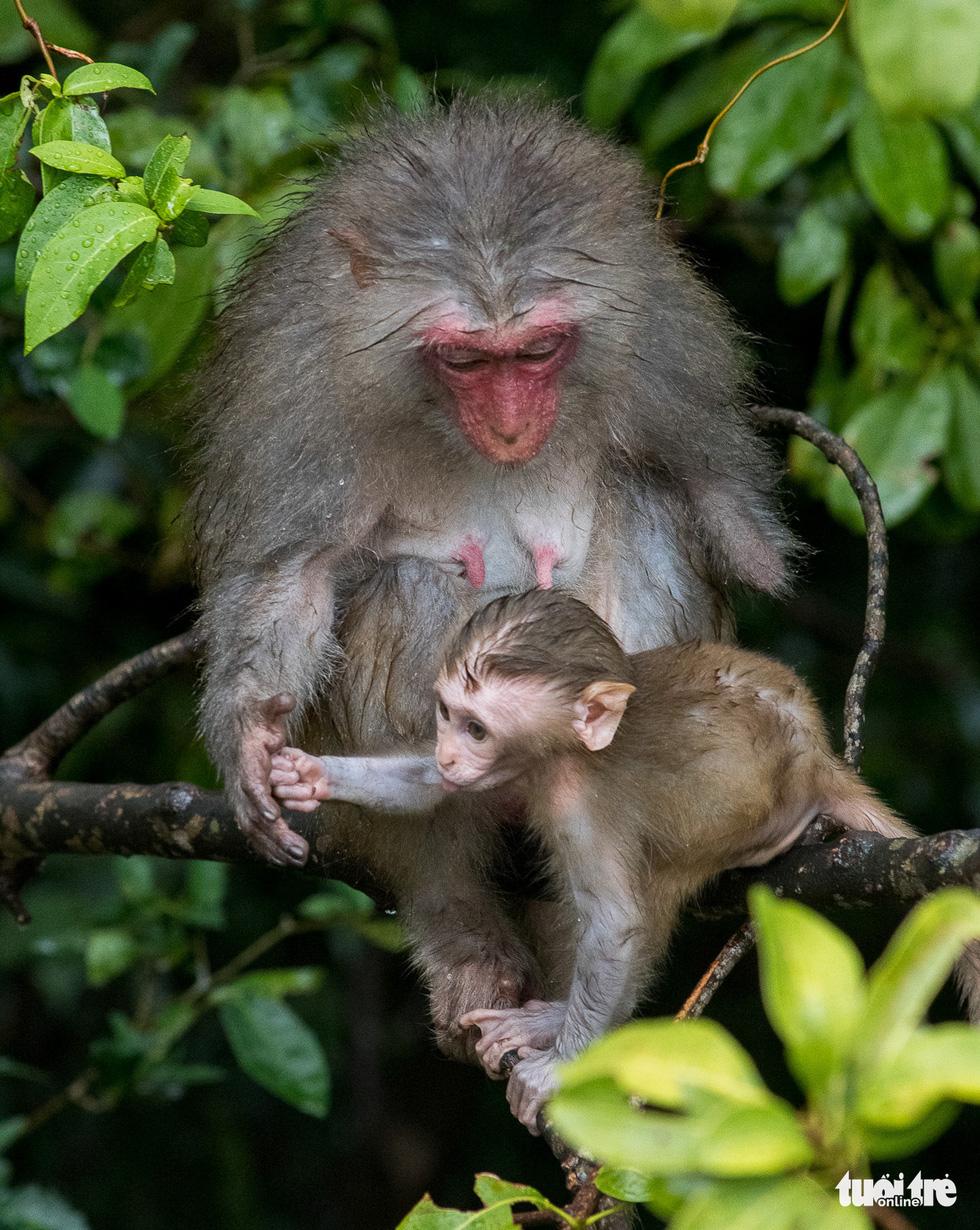 Nhói lòng những con khỉ què quặt, bị thương lòi xương ở Sơn Trà - Ảnh 3.