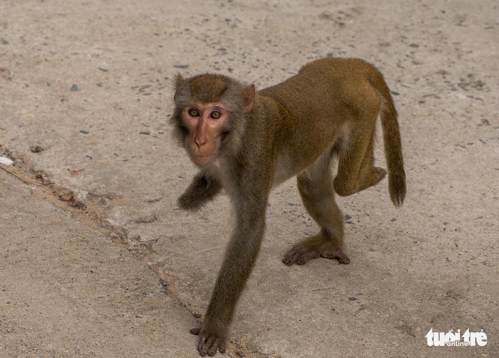 Nhói lòng những con khỉ què quặt, bị thương lòi xương ở Sơn Trà - Ảnh 6.