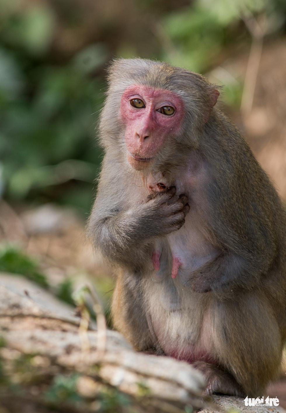 Nhói lòng những con khỉ què quặt, bị thương lòi xương ở Sơn Trà - Ảnh 5.