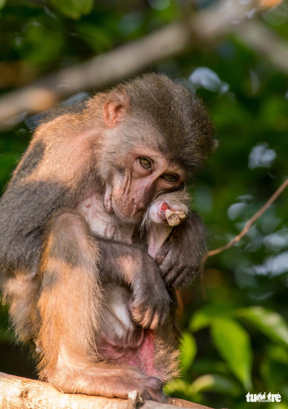 Nhói lòng những con khỉ què quặt, bị thương lòi xương ở Sơn Trà - Ảnh 2.