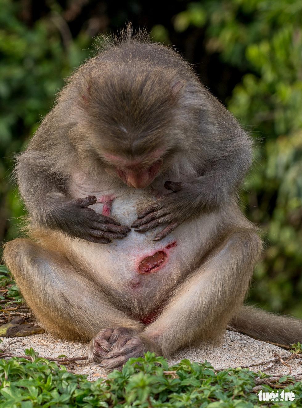 Nhói lòng những con khỉ què quặt, bị thương lòi xương ở Sơn Trà - Ảnh 7.